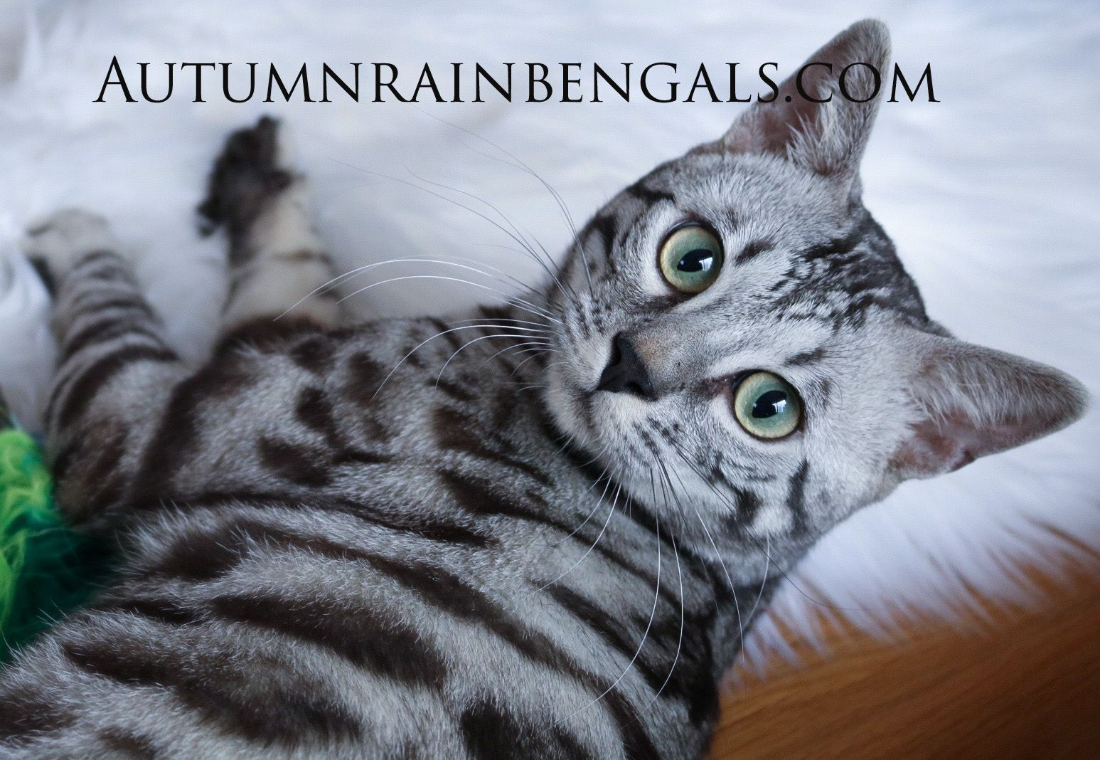 Gorgeous Silver Frost Silver Bengal Cat Silver