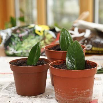 zamioculcas vermehren vom blatt zur neuen pflanze garten pinterest stecklinge pflanzen. Black Bedroom Furniture Sets. Home Design Ideas