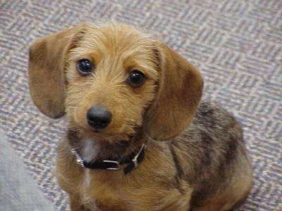 Mini Wirehair Dachshund Puppy Flickr Photo Sharing M5x Eu