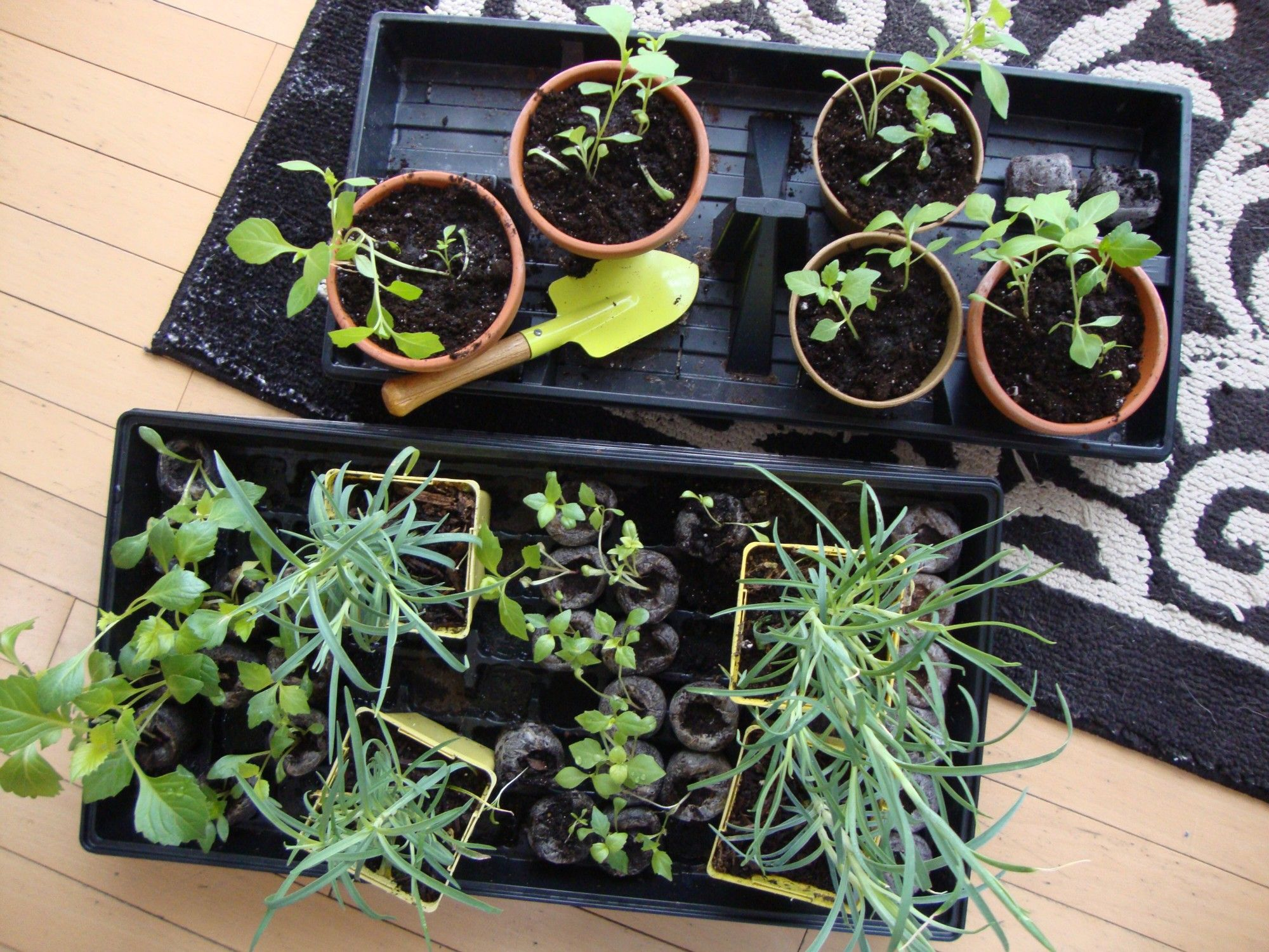 Dianthus Seedlings Gallery