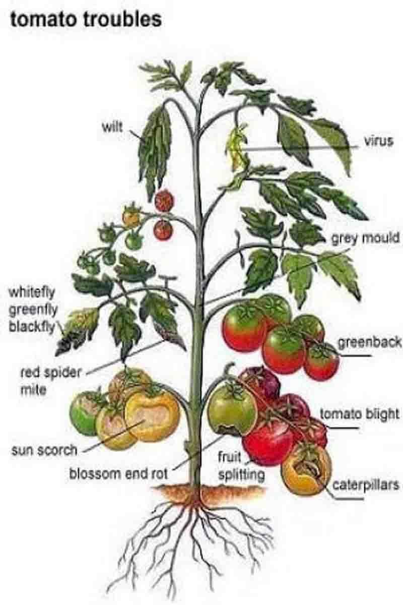 TOMATO TROUBLES | Organic tomato garden, Plants, Tomato gardenPinterest