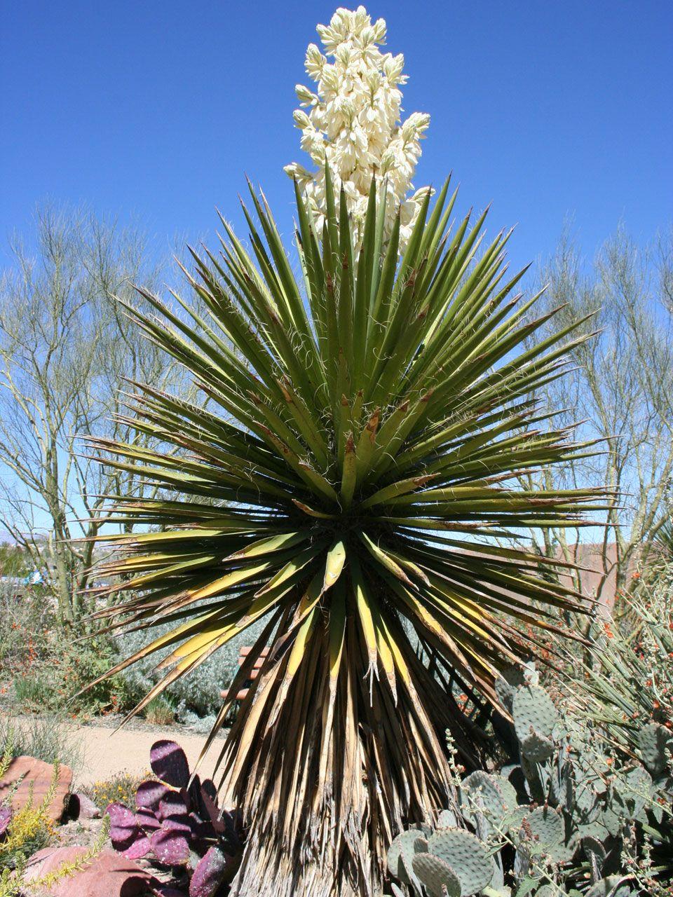 mojave yucca drought tolerant plants yucca plant plants desert plants. Black Bedroom Furniture Sets. Home Design Ideas
