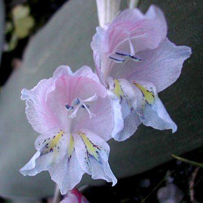 gladiolus pllansii