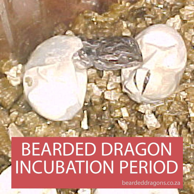 How Long Should It Take For Bearded Dragon Eggs To