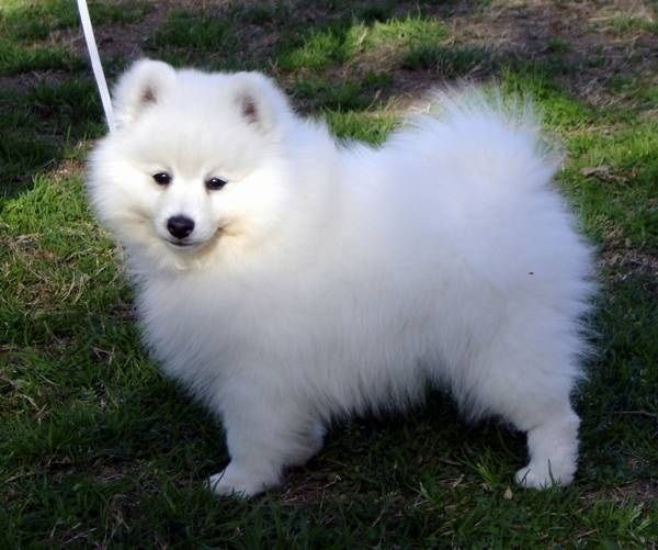 Small White Dog Breeds Japanese Spitz Japanese Spitz Japanese