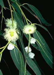 Eucalipto Macho Eucalipto Blanco Eucalipto Azul Eucalipto Medicinal Australian Plants Australian Wildflowers Australian Flowers