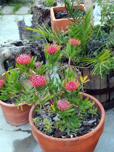 Leucospermum Scarlet Ribbon Growing In A Pot Native Garden Australian Native Garden Australian Plants