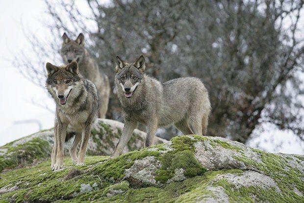 12 Propuestas De Wwf Para La Conservación Del Lobo Soyrural Es Animales En Peligro De Extincion Lobo Iberico Animales