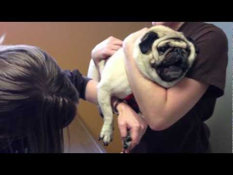 Dramatic Pug Hates Having His Nails Clipped Youtube Pugs Raining Cats And Dogs Vets