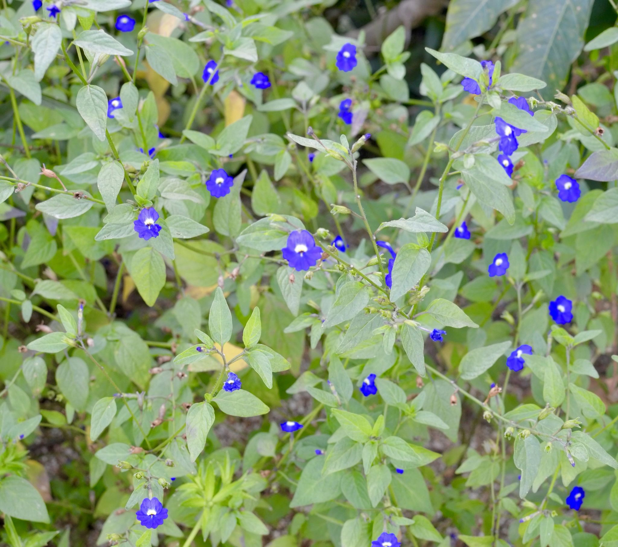 Small Blue Flowers Small Flowers Unnoticed Wild Flowers