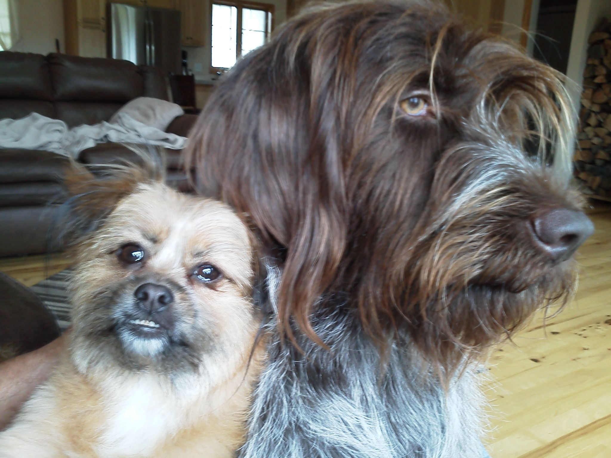Sidor, Wirehaired Pointing Griffon and Bella Pom mix