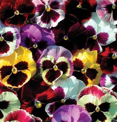 Majestic Giants Ii Formula Mix F1 Viola Seed Johnny S Selected Seeds Pansies Flowers Flower Seeds Pansies