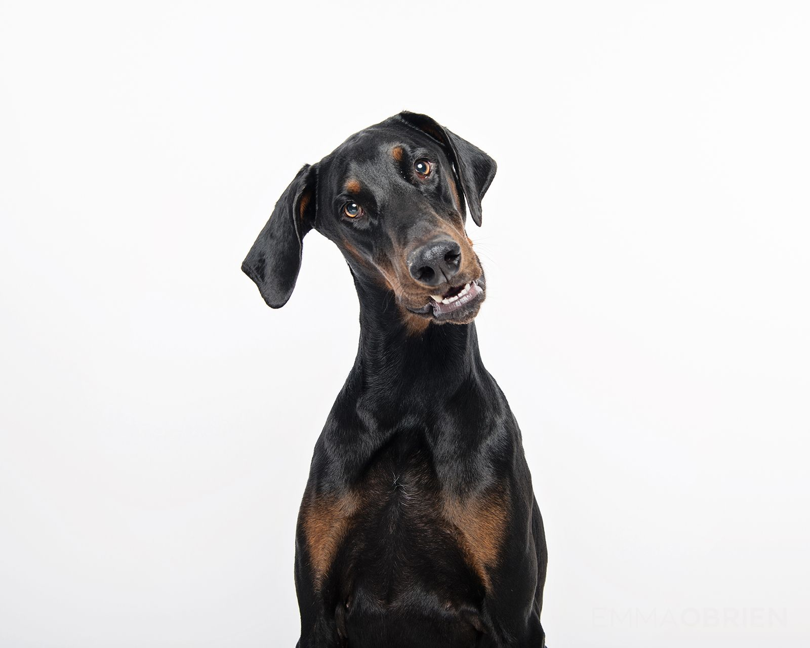 Doberman Dog Studio Portraits Pretoria South Africa