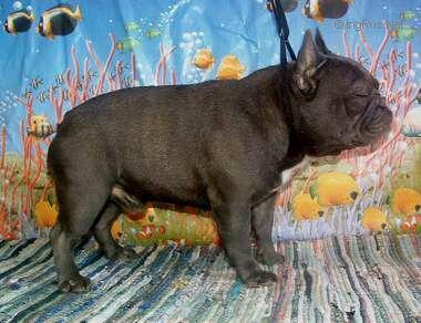 Molodets Iz Russkoi Skazki Maternal Sire Ggggp French Bulldog