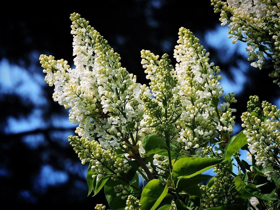 Hvide syrener er så småt på vej #tv2vejret #fyn #nature #visitdenmark #naturelovers #natur #denmark #danmark #dänemark #landscape #nofilter #assens #mitassens #opdagdanmark #fynerfin #assensnatur #vielskernaturen #visitassens #instapic #picoftheday #forår