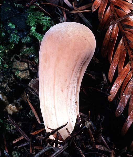 Clavariadelphus occidentalis Common Name: Club Coral © Taylor F. Lockwood