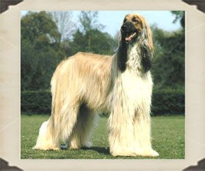 The Afghan Hound Is A Sighthound With An Aristocratic Bearing