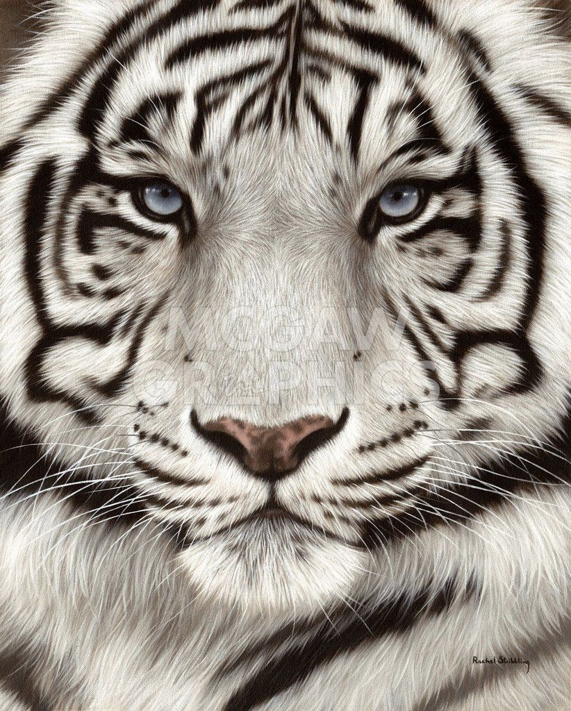 White Tiger Face Portrait | Tiger painting, Tiger ...
