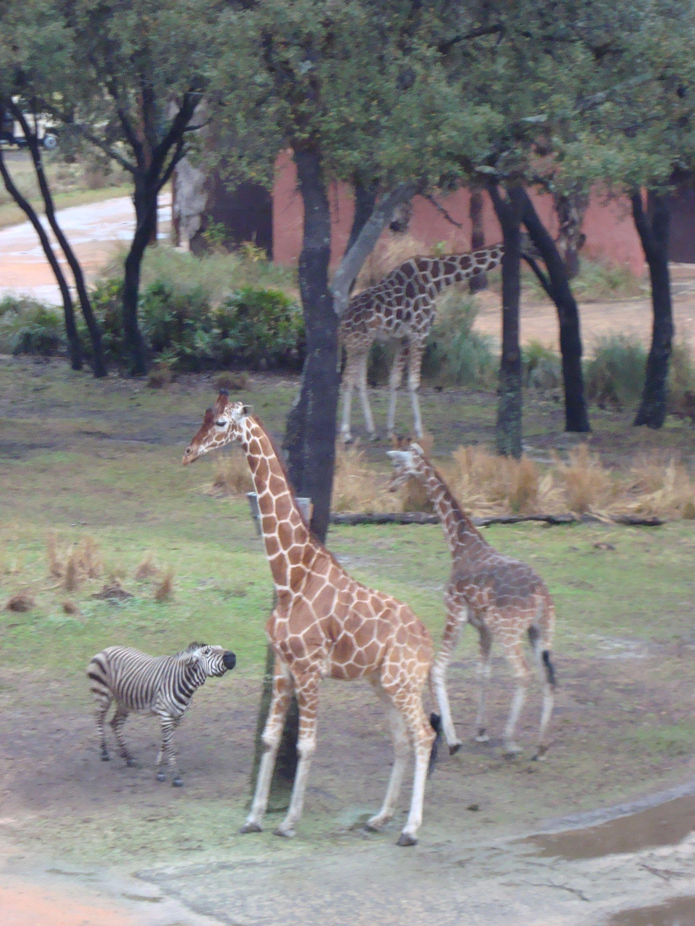 Giraffes And Zebra Zebra Looks A Little Frustrated