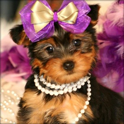 Free Teacup Yorkies Two Teacup Yorkie Puppies For Free Adoption For Sale In Abram Texas Yorkie Puppy Teacup Yorkie Puppy Cutest Puppy Ever