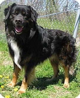 Brandt Adopted Dog Arlington Heights Il Rottweiler Bernese