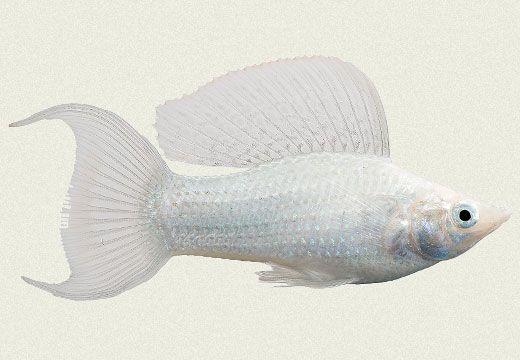 Lyretail Molly Google Search Aquarium Fish Freshwater Aquarium Fish Tropical Fish Aquarium
