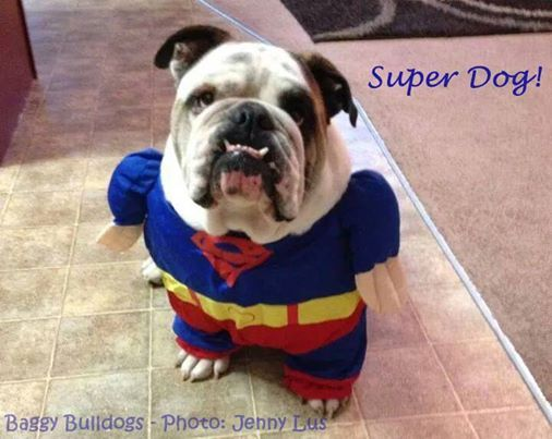 ♥ Baggy Bulldogs ♥: It's a Bird! ... It's a Plane! ... No! ... It's Super Dog!