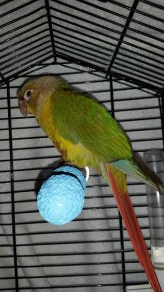LOST CONURE: 29/07/2016 - Tinshill, Leeds, West Yorkshire, England, United Kingdom. Ref#: L25570 - #ParrotAlert #LostBird #LostParrot #MissingBird #MissingParrot #LostConure #MissingConure