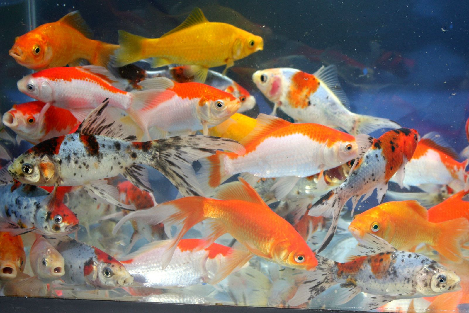 4 live goldfish red yellow comet sarasa shubunkin 4 5 inch for Koi und goldfisch
