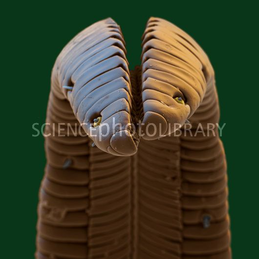 Hawkmoth tongue by Eye of Science/ Science Photo Library
