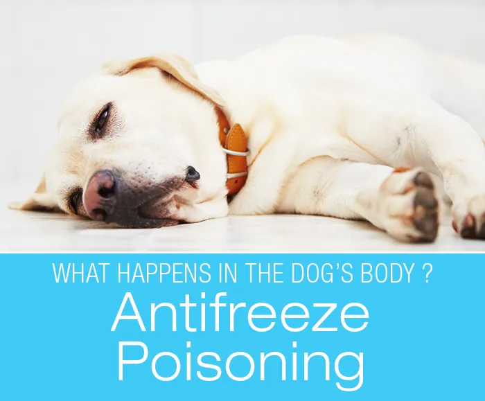 Antifreeze Poisoning in Dogs What Happens in the Dog's