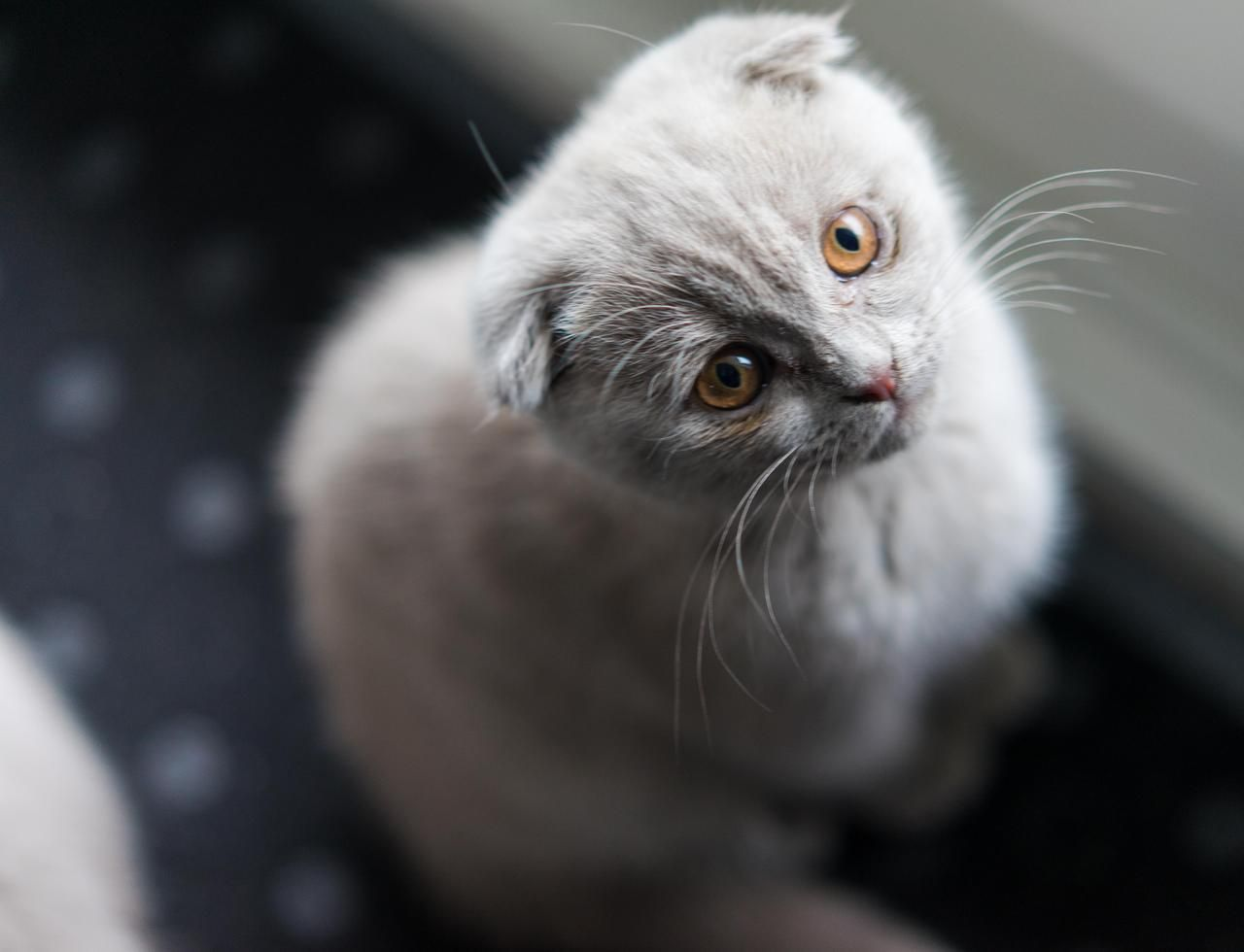 This Is Snow 13 Weeks Old Scottish Fold By Desilent Cats Kitten Catsonweb Cute Adorable Funny Sleepy Anima Scottish Fold Scottish Fold Cat Funny Kittens Cutest