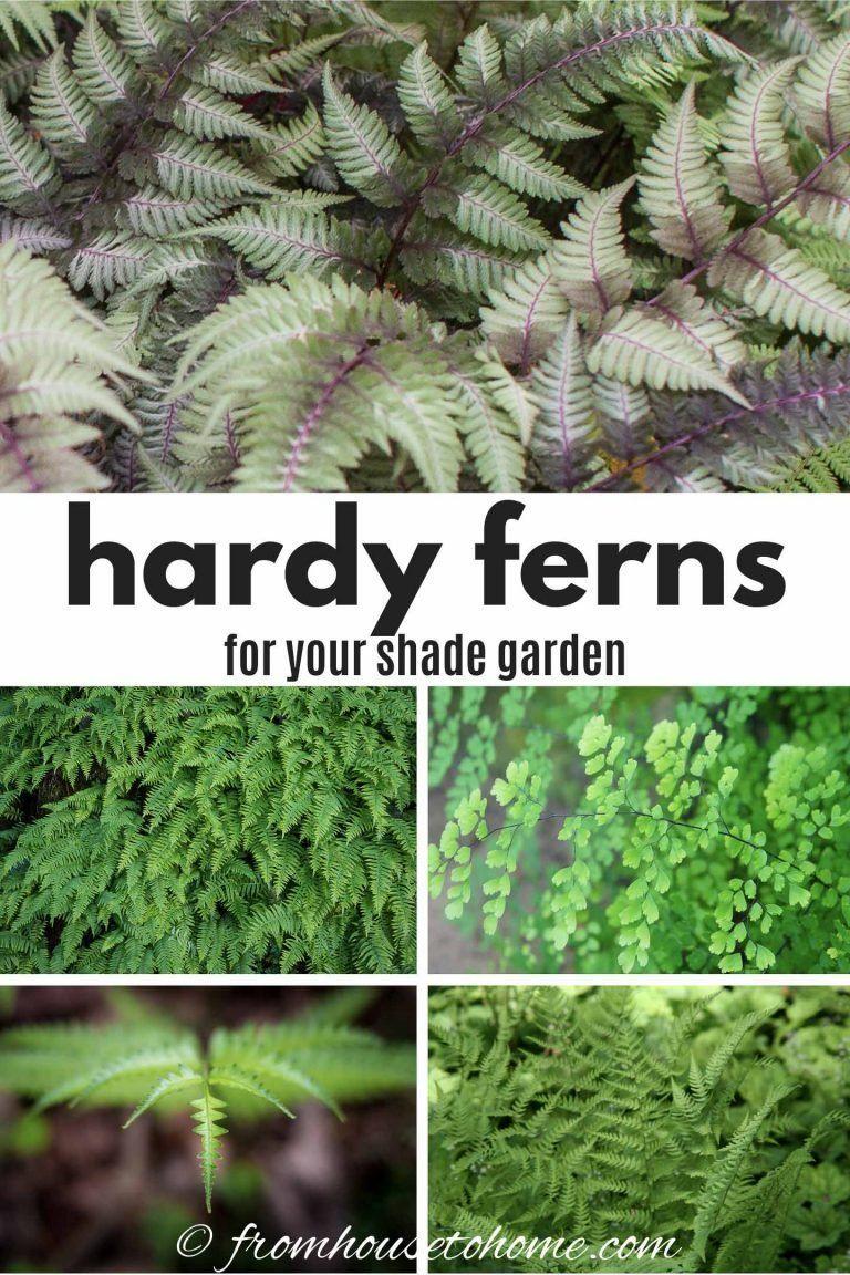 20 Winter Hardy Fern Varieties Shade Garden Plants Evergreen Ferns Shade Perennials
