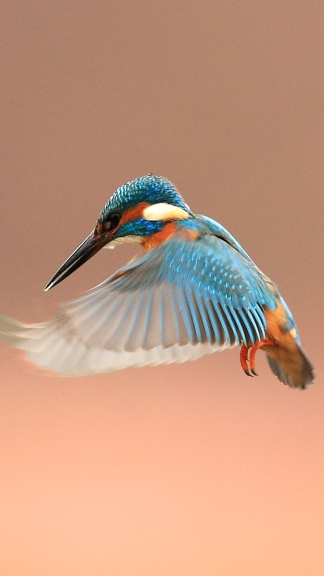Beautiful Flapping Kingfisher Bird IPhone 6 Plus Wallpaper