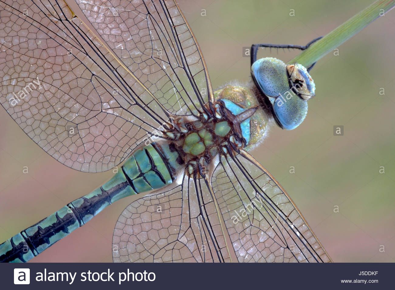 Image result for macro dragonfly wing Dragonfly wings