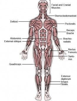 the latin roots of muscles names | human muscular system and rad tech, Muscles