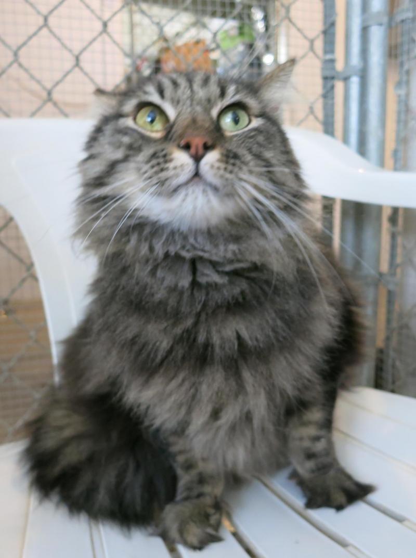 Adopt Snapple On Cat Face Grey Cats Tabby Cat