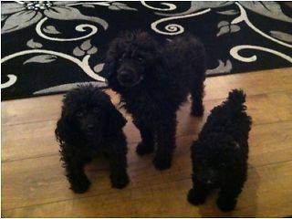 Toy Poodle Puppy North Shields Picture 1 Toy Poodle Puppy