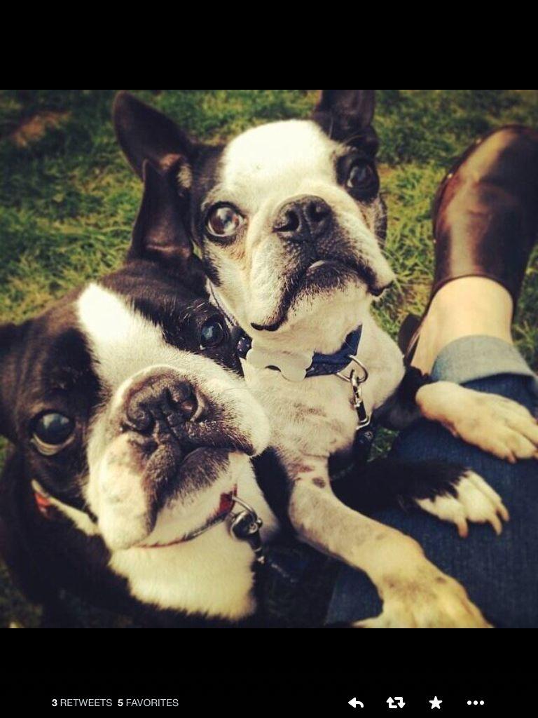 English Boston Terriers