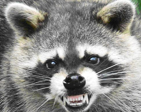 Raccoons Are Wild Animals And Should Be Respected As Such Animals Raccoon Attack Animals Wild
