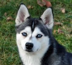 Alaskan Klee Kai  (like a miniature husky!) $1800-$2500  YIKES!  Don't have the typical yucky doggy smell or bad breath!  wow, that's my kind of dog! #miniaturehusky Alaskan Klee Kai  (like a miniature husky!) $1800-$2500  YIKES!  Don't have the typical yucky doggy smell or bad breath!  wow, that's my kind of dog! #miniaturehusky Alaskan Klee Kai  (like a miniature husky!) $1800-$2500  YIKES!  Don't have the typical yucky doggy smell or bad breath!  wow, that's my kind of dog! #miniaturehusky Al #miniaturehusky