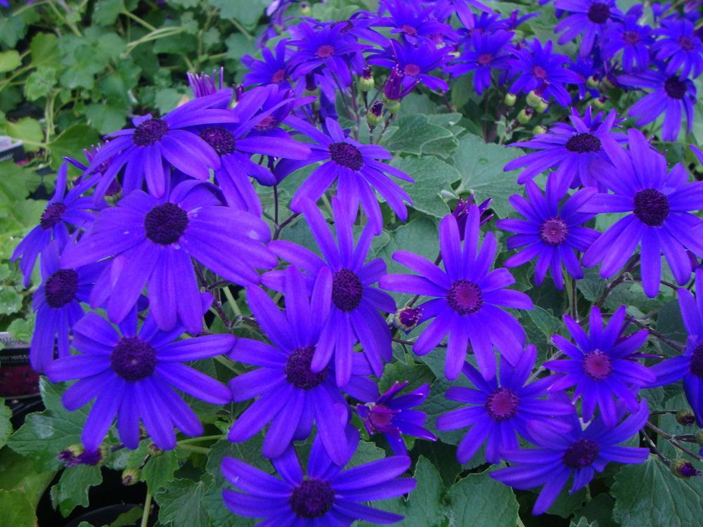 Pericallis Senetti Deep Blue Recently Found This Plant At A Local Store And Am Excited To See It Bloom It Reblooms In F Cineraria Plants Beautiful Flowers