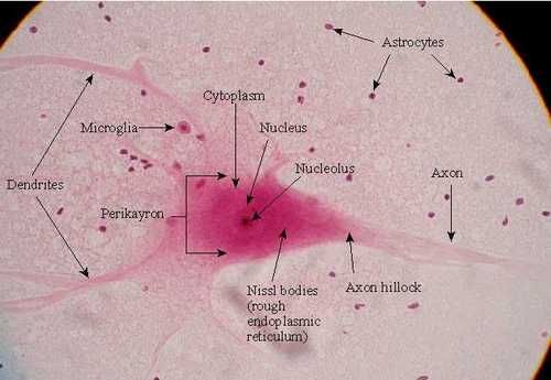 neuron slide labeled science pinterest neurons physiology