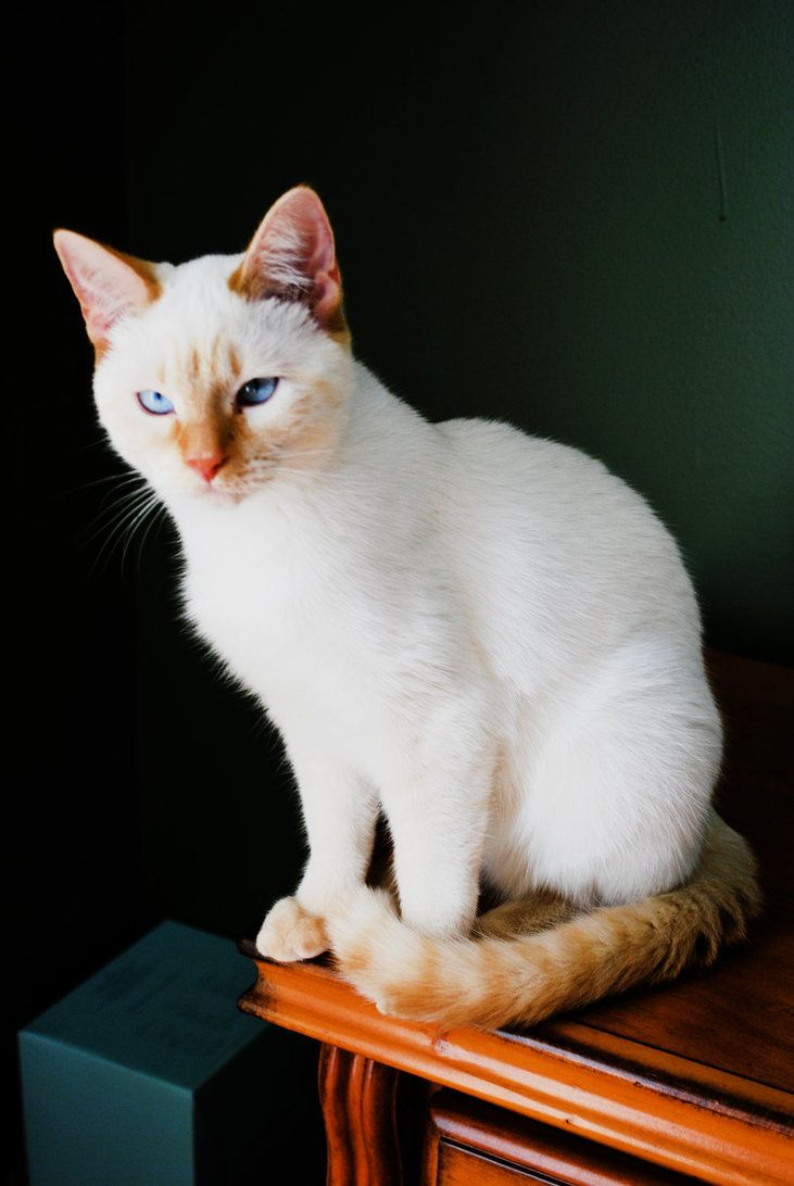 Flame Point Siamese - This one looks much like my Siamese Cross ...
