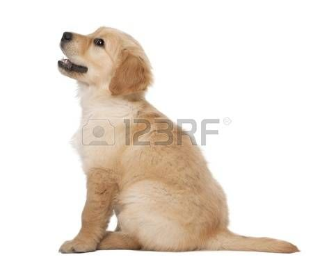 Stock Photo Puppies 2 Month Olds Cute Puppies