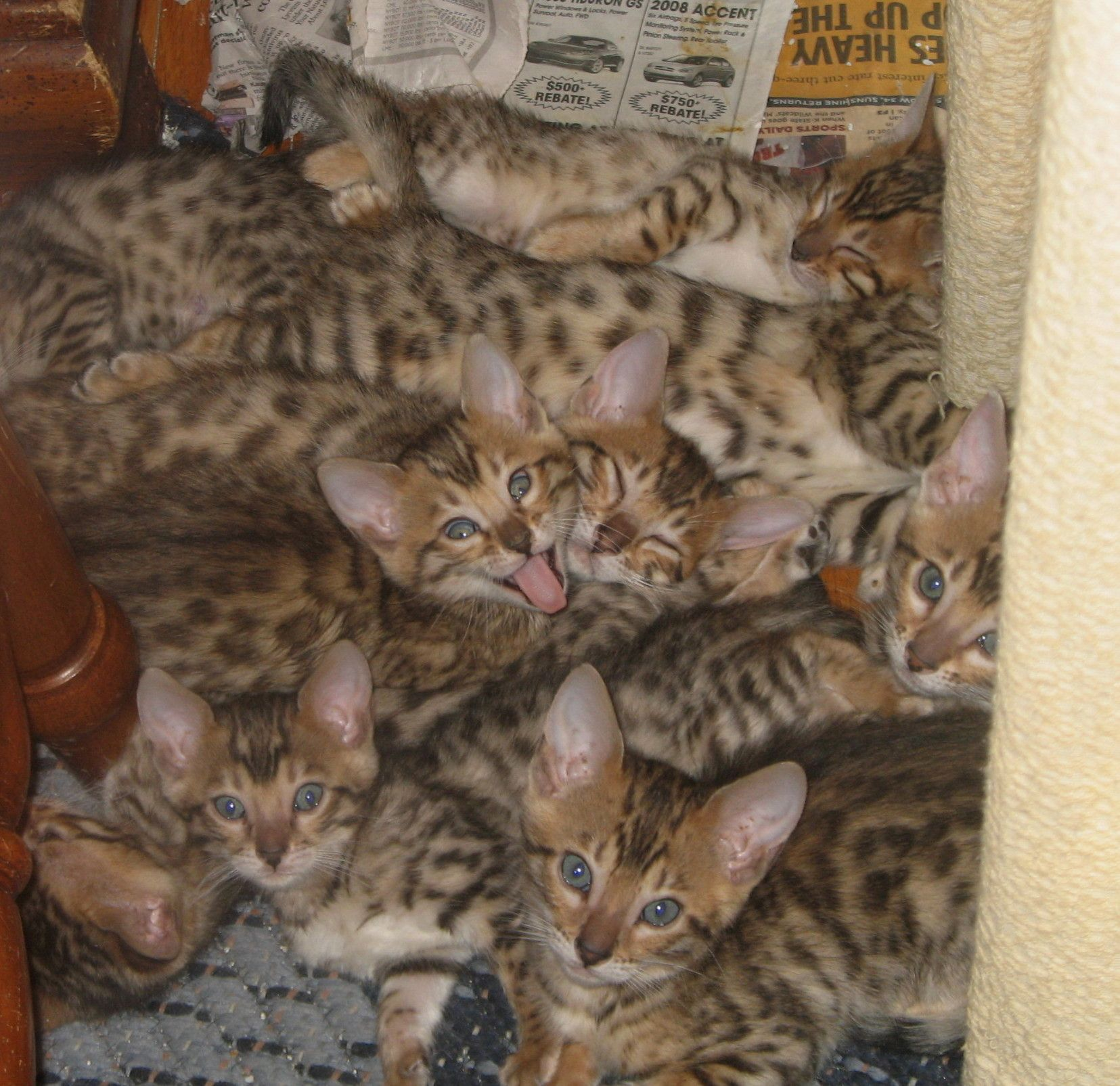 How many bengal kittens can you fit in a photo??! Bengal