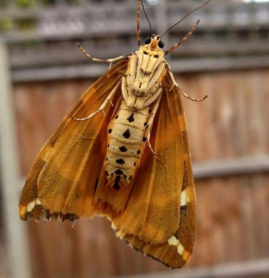 Garden Tiger Moth   flutterbyes and moffs♡   Pinterest   Moth and ...
