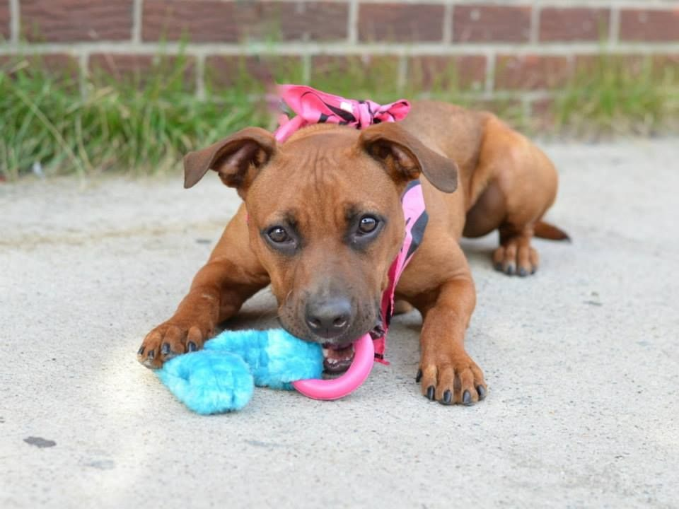 TO BE DESTROYED - TUESDAY - 7/29/14, Brooklyn Center   VICKY - A1007126   FEMALE, BROWN / WHITE, PIT BULL MIX, 1 yr  STRAY - STRAY WAIT, NO HOLD Reason STRAY   Intake condition NONE Intake Date 07/18/2014, From NY 11221, DueOut Date 07/21/2014 https://www.facebook.com/photo.php?fbid=840831865929694&set=a.617941078218775.1073741869.152876678058553&type=3&theater