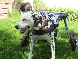 Dog Wheelchair Reviews: Dog Wheelchair Rental Extended