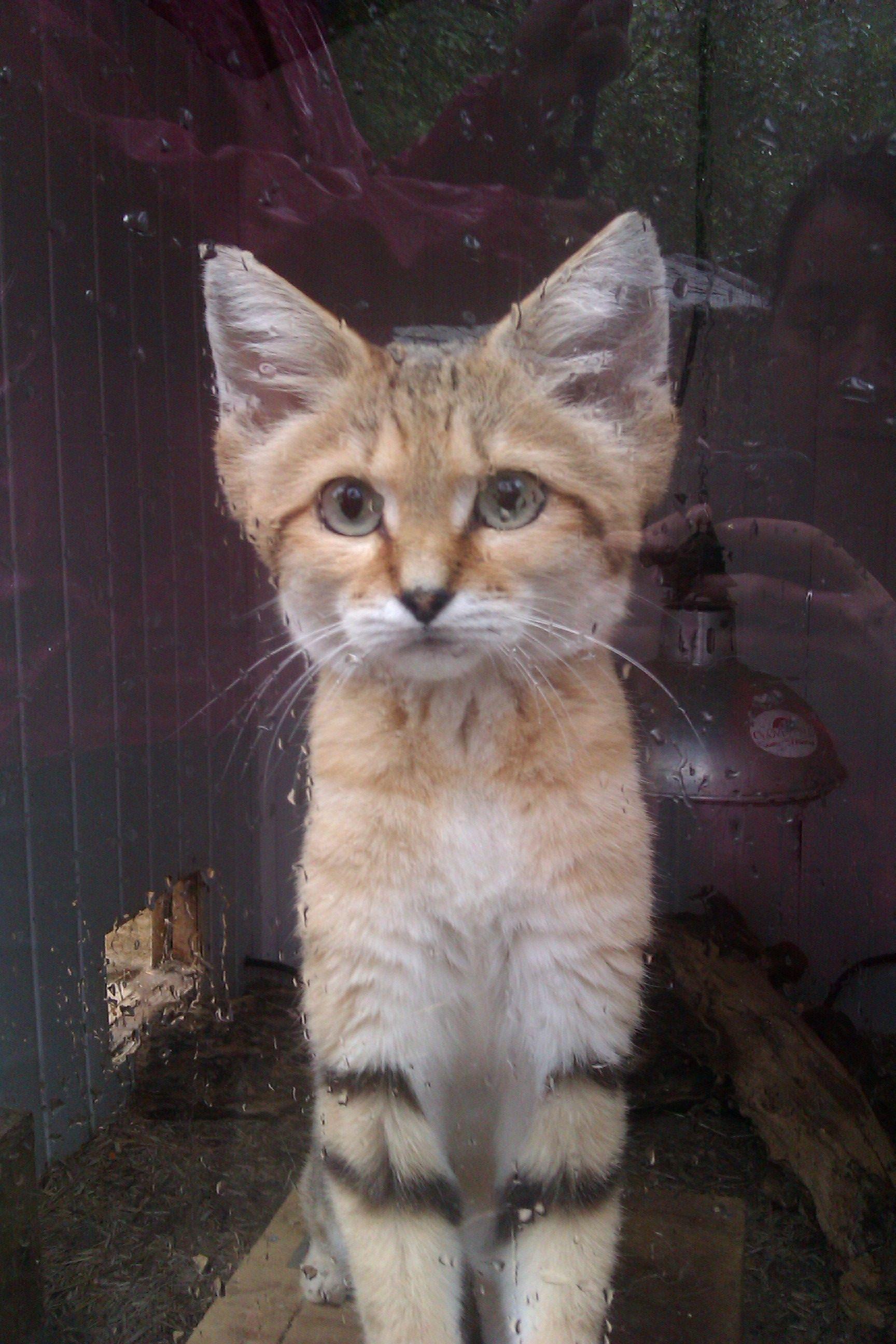 Sand cat :)